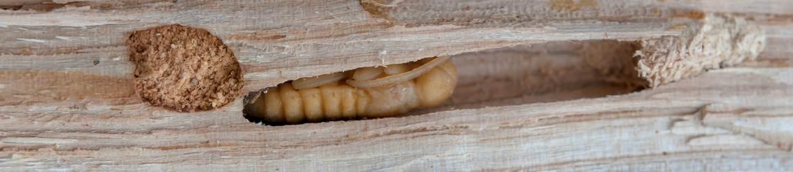 Eliminar carcoma empresa carcoma tratamiento carcoma for Carcoma de la madera
